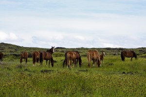 Wild horses in Easter Island