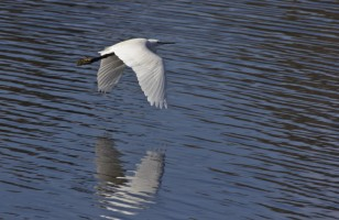 Egret flying over Proserpina at Proserpina swamp (